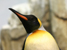A picture of an Emperor penguin. A native of Patagonia in Southern Argentina, penguin not included in hotel deal