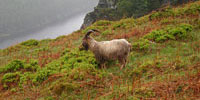 Mountain goat at Glendalough, Co. Wicklow